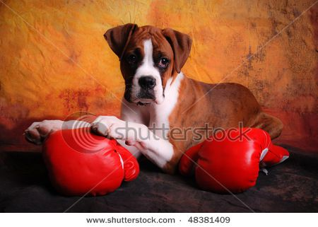 stock-photo-boxer-dog-posing-with-boxing-gloves-48381409.jpg