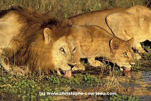 lions-boivent-male-1-1-zmm2-copie-2.jpg