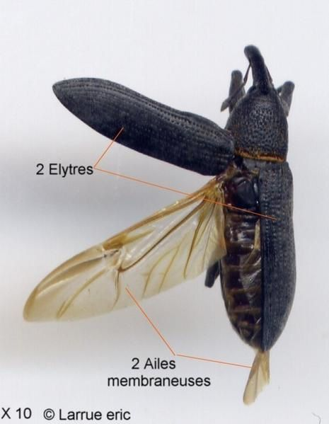 charancons le monde des insectes. Black Bedroom Furniture Sets. Home Design Ideas