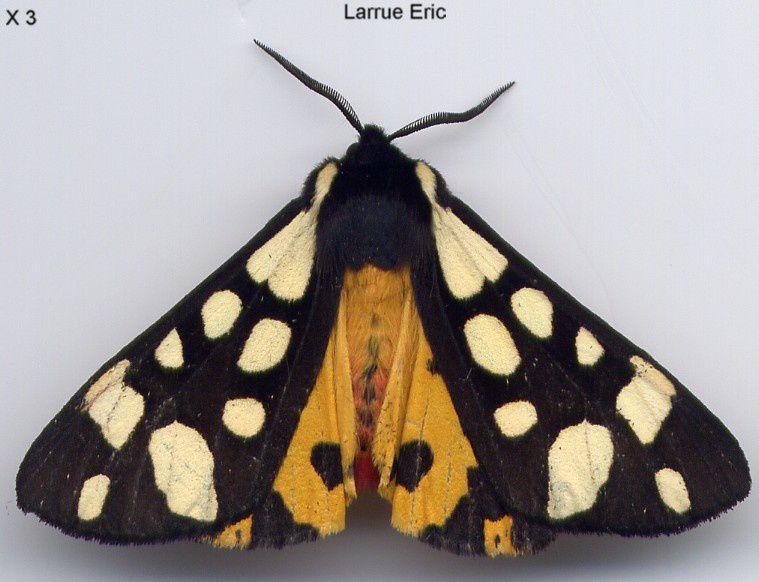 Photo papillon de nuit 3 le monde des insectes - Invasion papillon de nuit ...