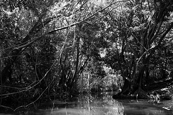 dominique mangrove