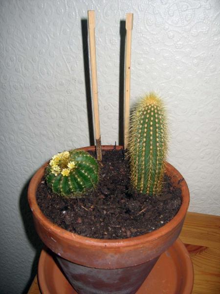 Cactus Benedictus et Cactus Hadrianus.... huhuhu.... anus.... ok je sors