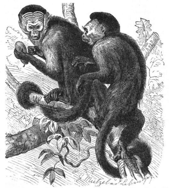 singes capucins (sapajous)