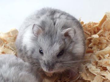 Campbell hamster blue fawn