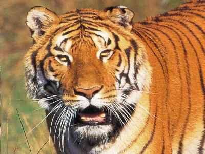 image animaux tigre
