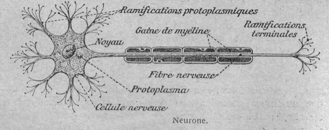 Image - Structure du neurone