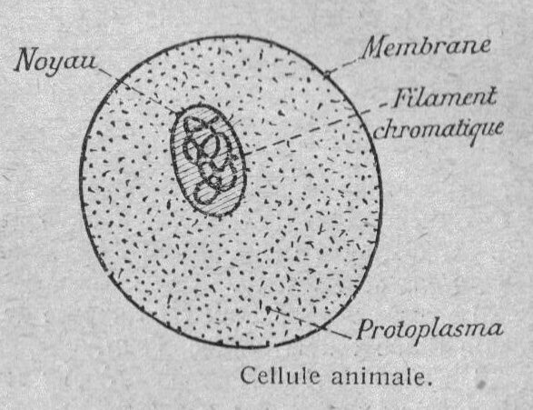 Image - Structure d'une cellule animale