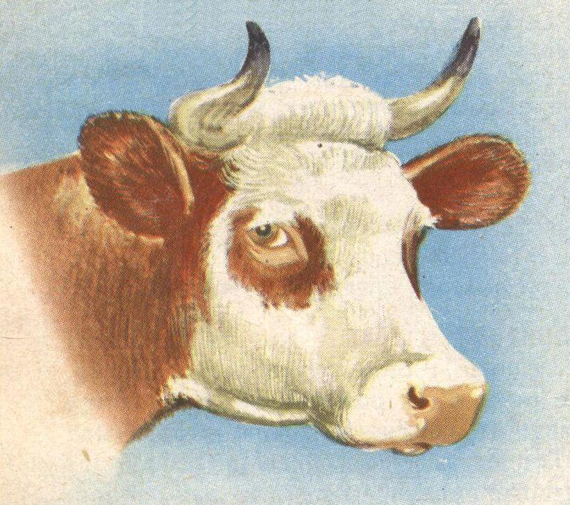 Dessin école Vache Tête Education Environnement Nature