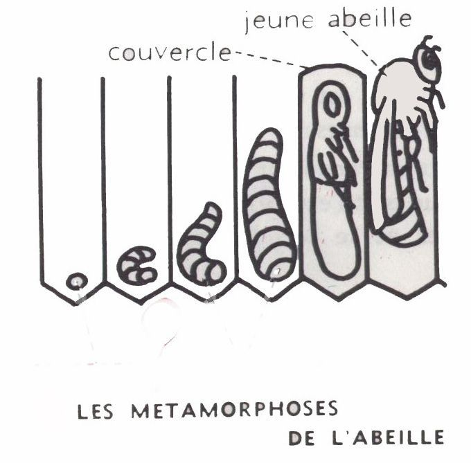 abeille-metamorphoses - Dessins école primaire - Lecons de choses