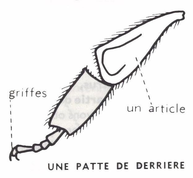 abeille-patte - Dessins école primaire - Lecons de choses