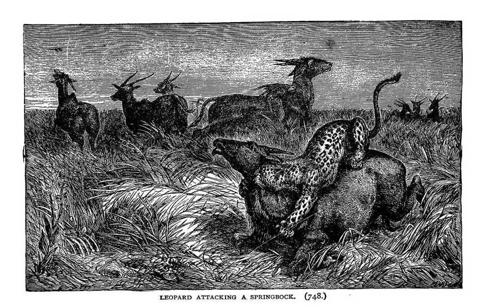 Dessin expédition Stanley en Afrique : leopard attaquand une gazelle springbock