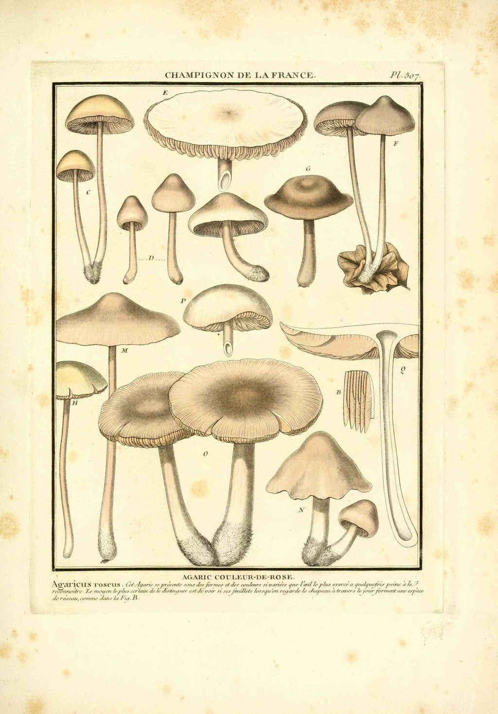 gravure de champignon : agaricus roseus