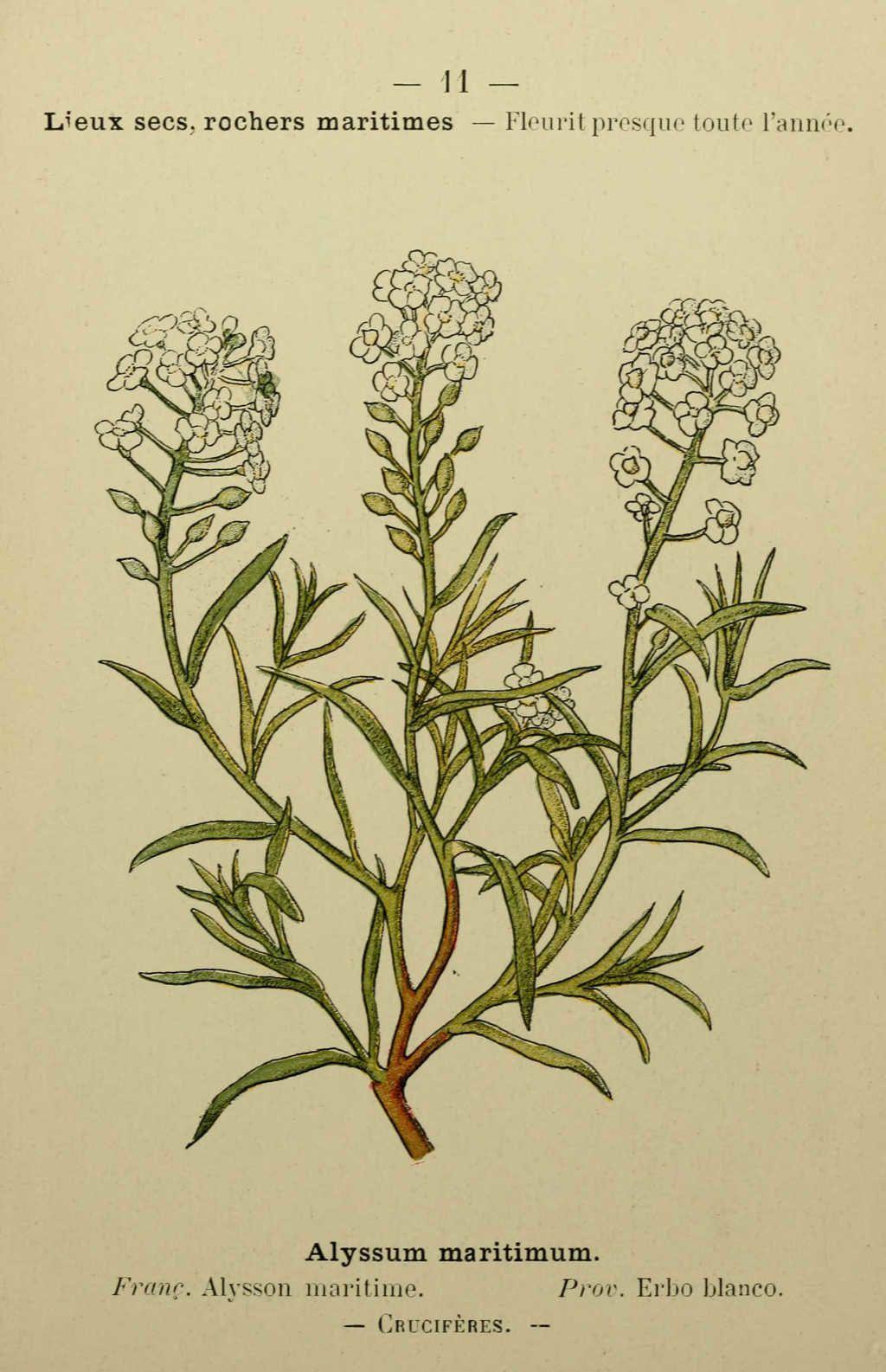 alysson maritime - alyssum maritimum - Dessin fleur Méditerranée