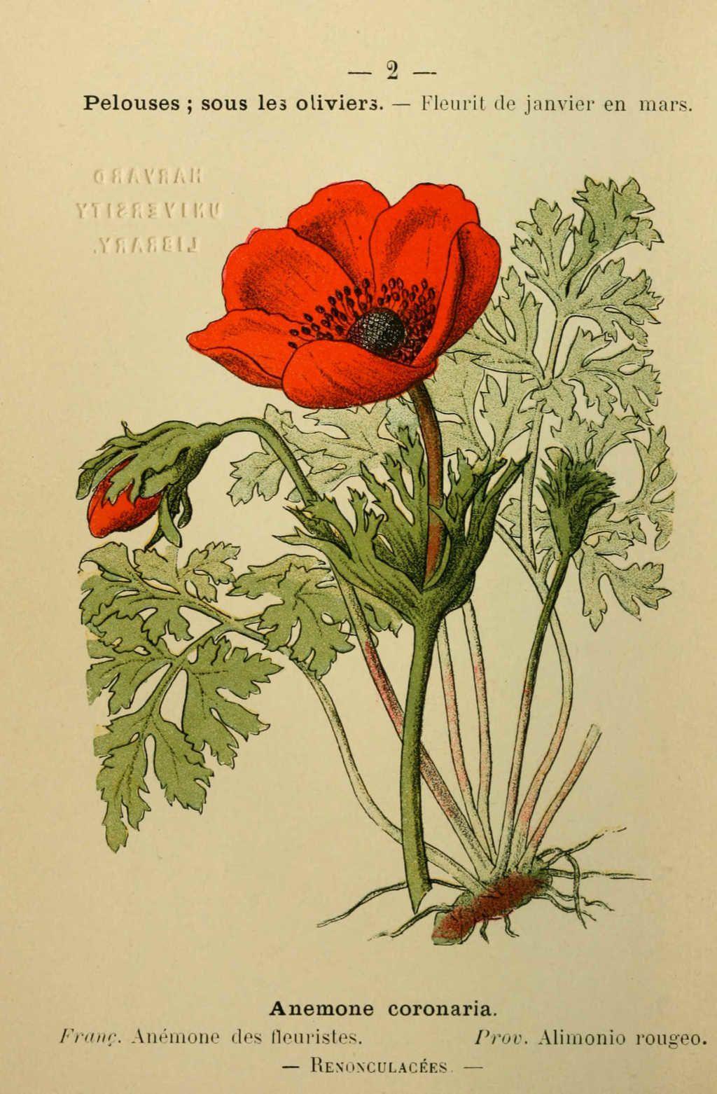 anemone des fleuristes - anemone coronaria - Dessin fleur Méditerranée