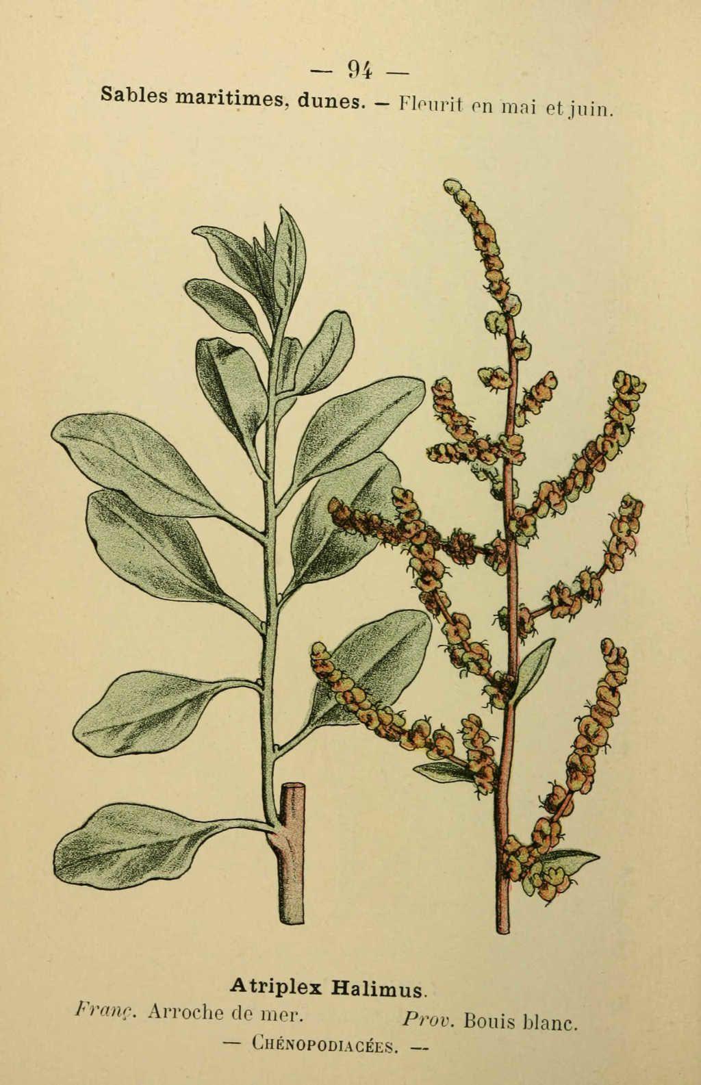 arroche de mer - atriplex halimus - Dessin fleur Méditerranée