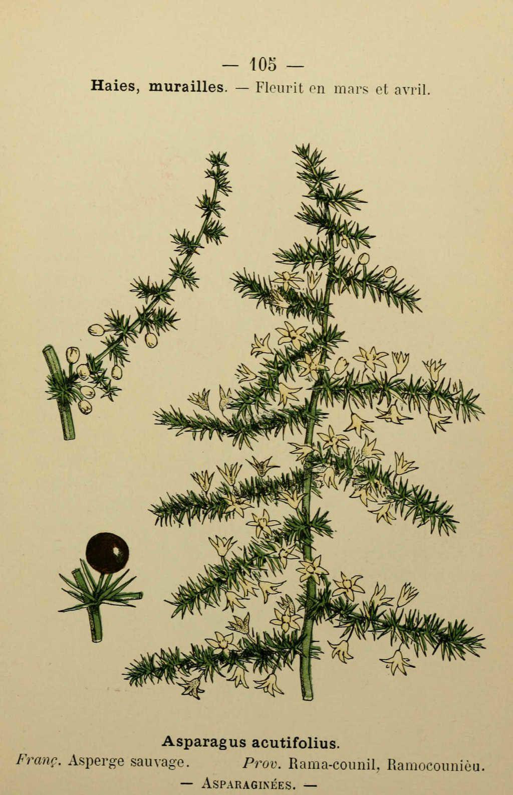 asperge sauvage - asparagus acutifolius - Dessin fleur Méditerranée