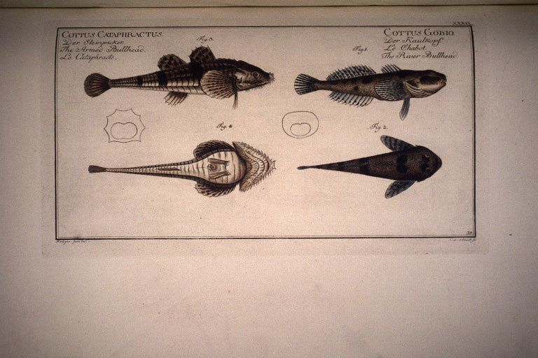 Dessin-gravure de poissons : Cottus gobia. Le chabot. The river bullhead. fig.3 Cottus
