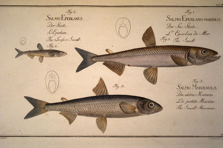 Salmo eperlano-marinus. L eperlan de mer. The smelt. fig.2