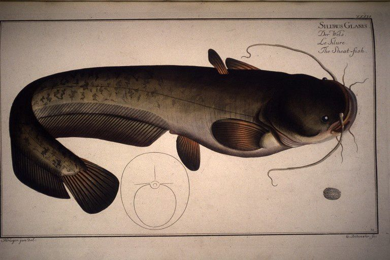 Silurius glanis. Der Wels. Le silure. The sheat-fish