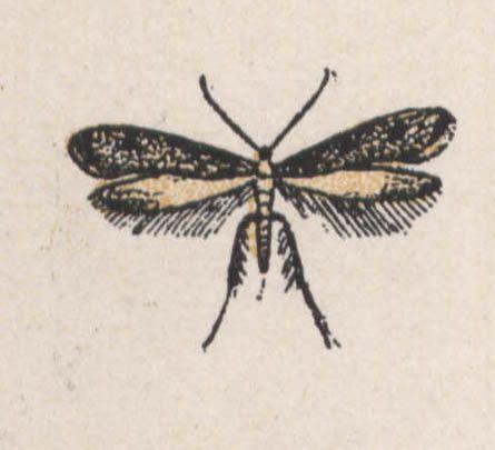 2-teigne des pelleteries - Dessin d'insecte