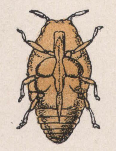 30-phylloxera femelle sans ailes face ventrale - Dessin d'insecte