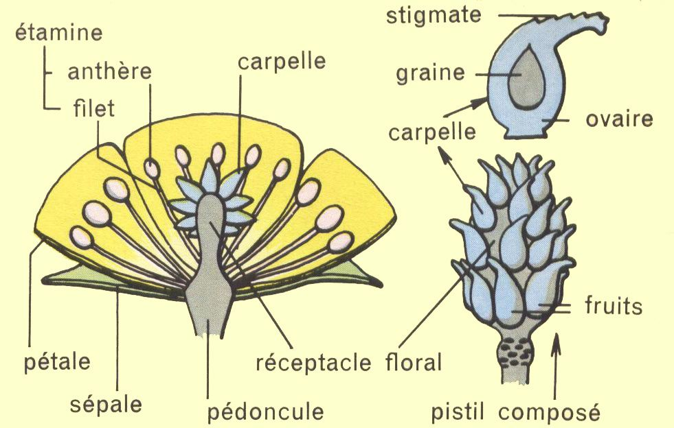 Dessin &#xE9;cole : structure fleur de renoncule