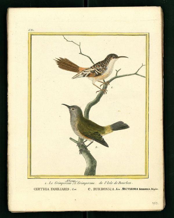 Dessin-gravure Buffon oiseau : grimpereaux
