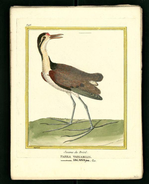 Dessin-gravure Buffon oiseau : jacana