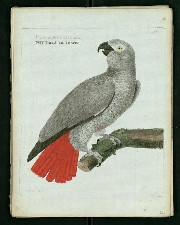 Dessin-gravure Buffon oiseau : perroquet-guinee