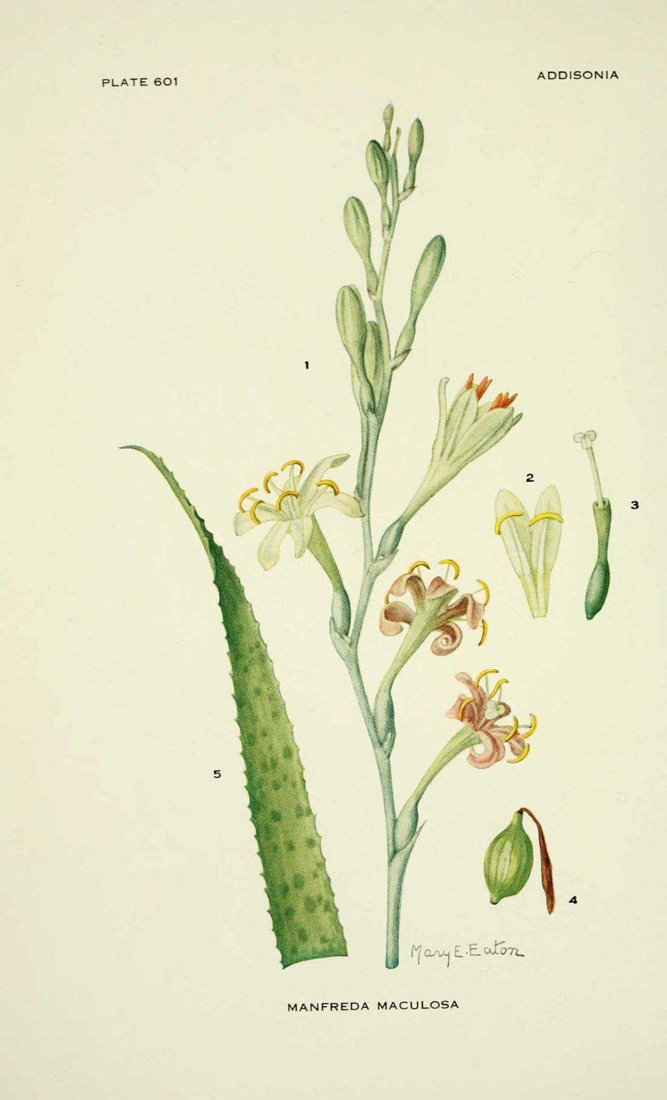 dessin fleur manfreda maculosa - lis epice
