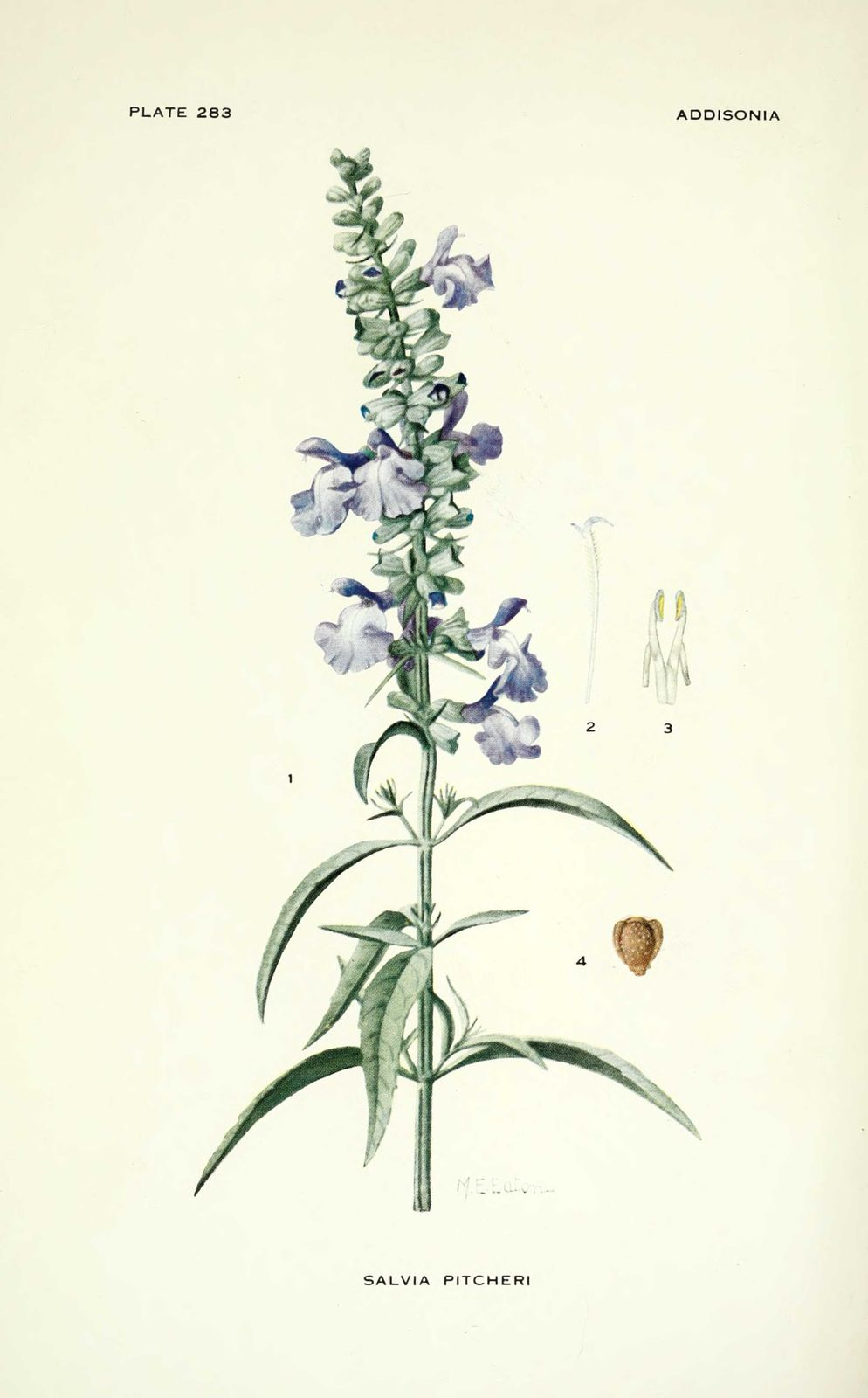gravure fleur salvia pitcheri (azurea) - sauge des prairies