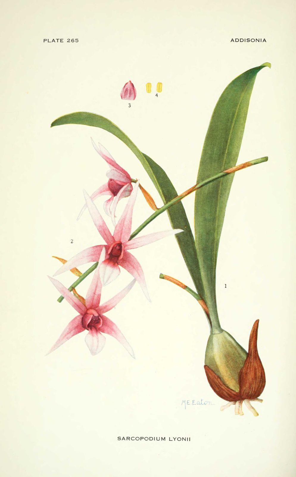 gravure fleur sarcopodium lyonii (orchidee)