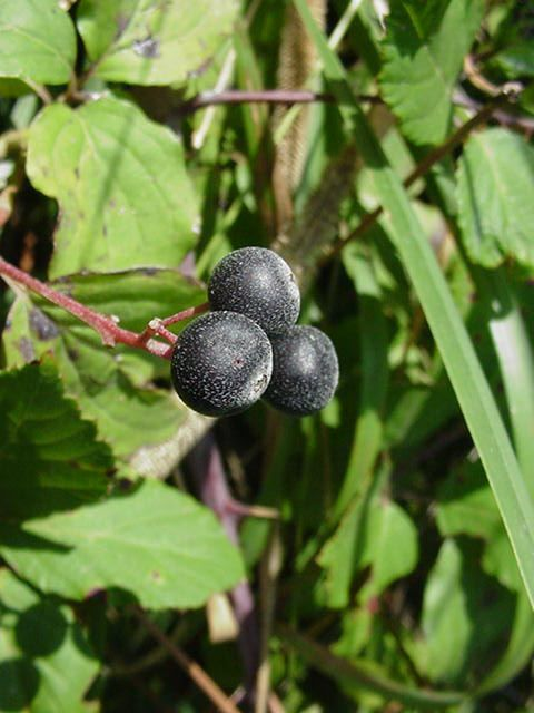 fruits - cornus sanguinea cornouiller