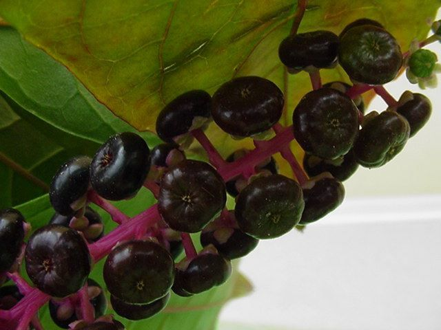 Photo fruits - phytolacca americana-raisin d amerique