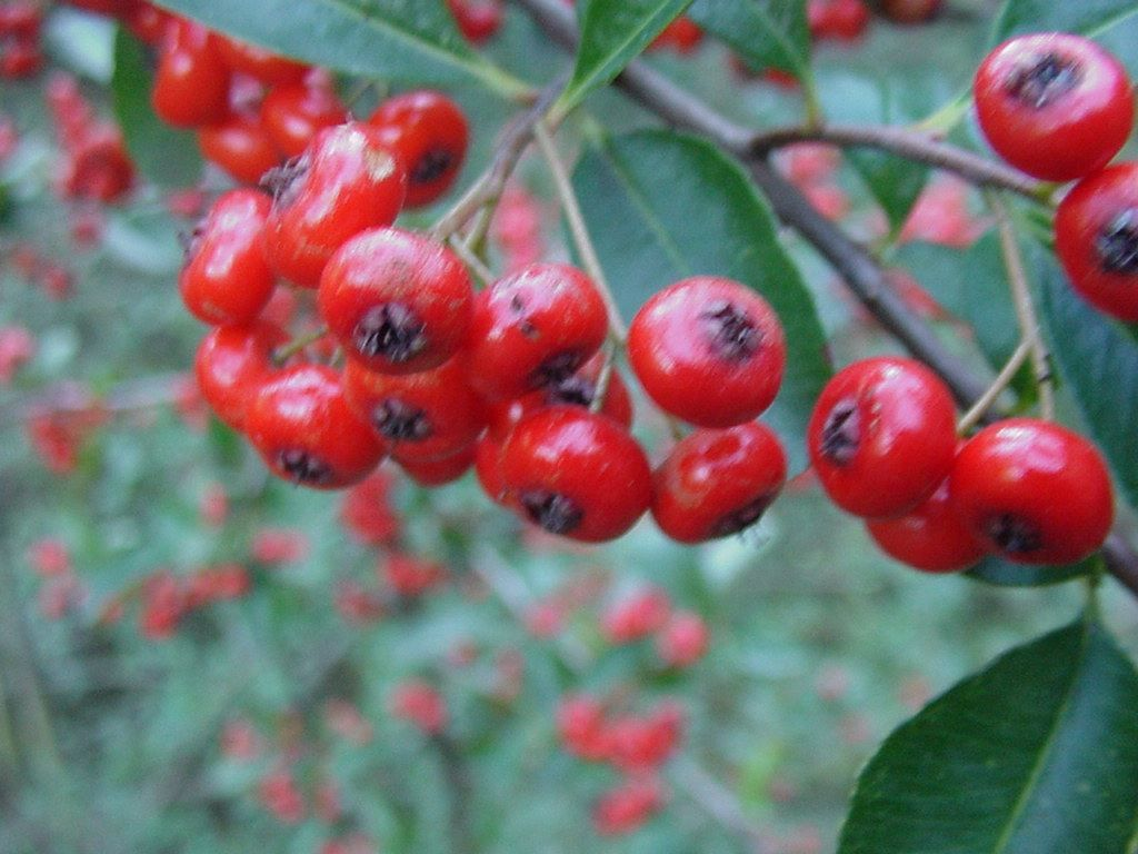Photo fruits - pyracantha