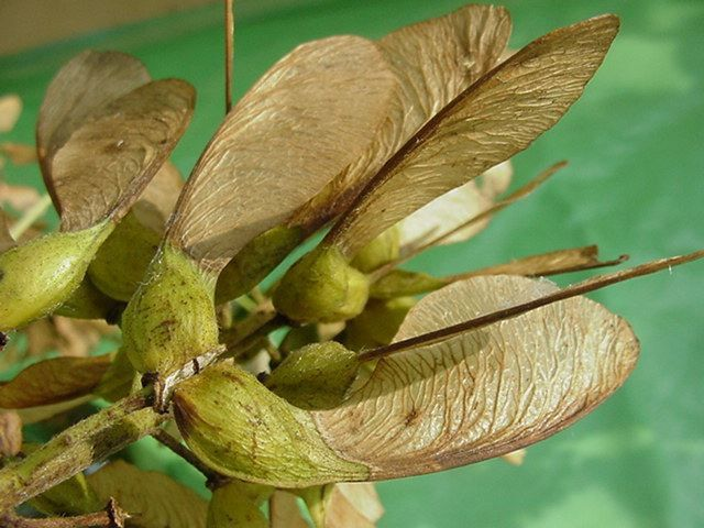 Photo fruits - samare acer pseudoplatanus-erable sycomore