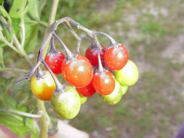 Photo fruits - solanum dulcamara morelle douce amere