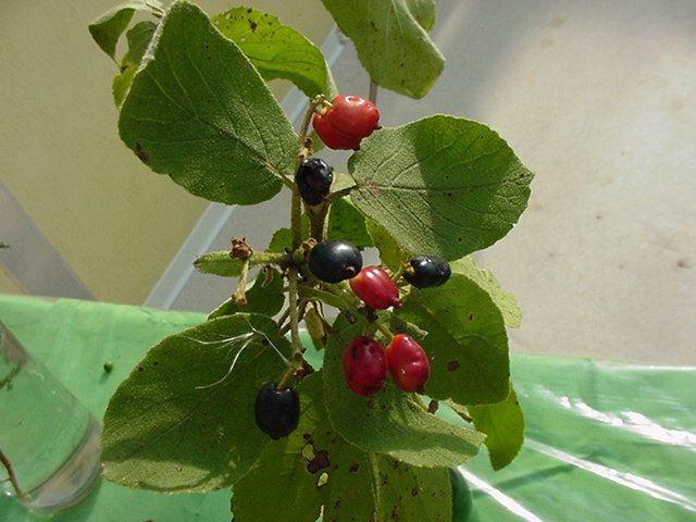 Photo fruits - viburnum lantana-viorne lantane