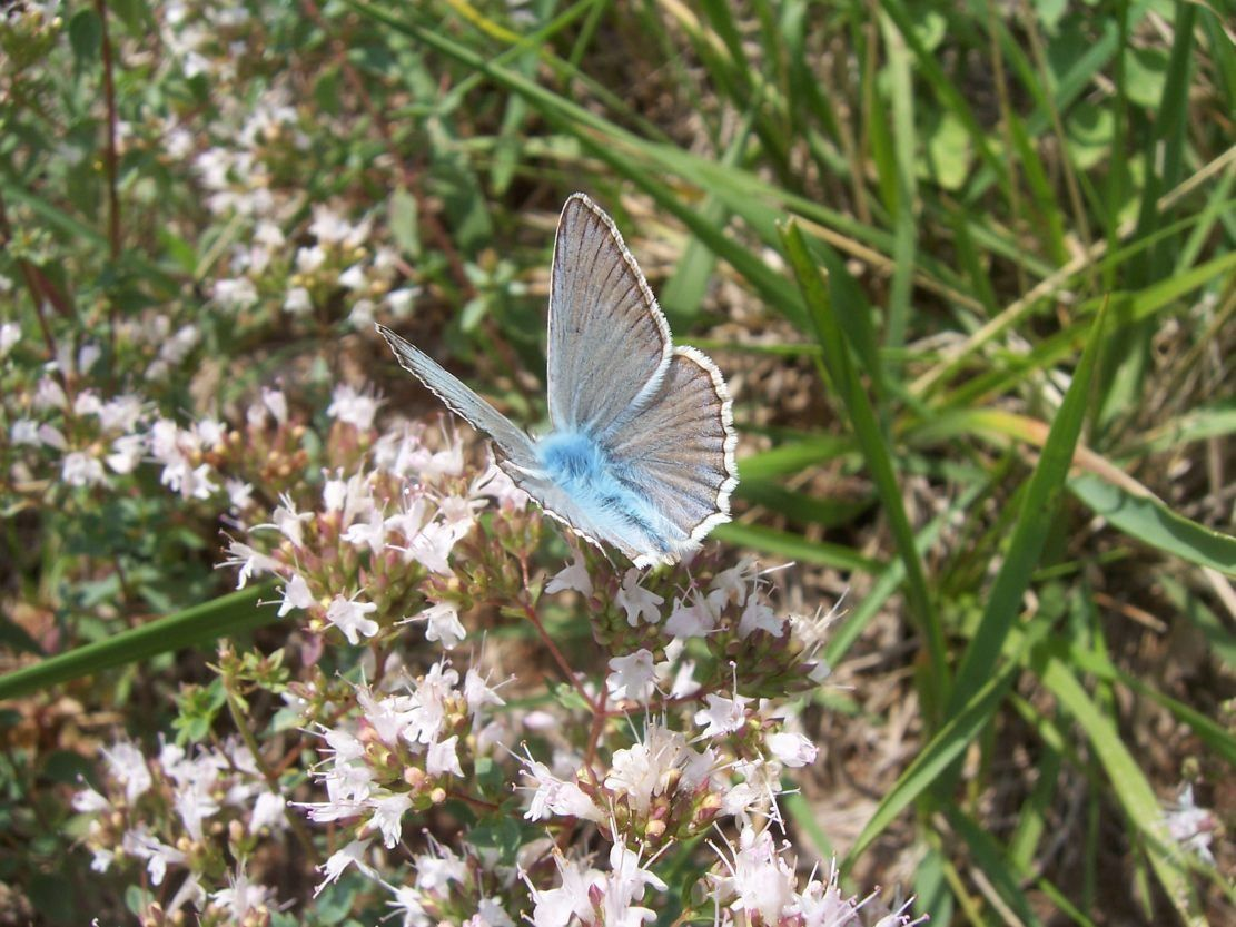 Photo papillon - azure du baguenaudier -