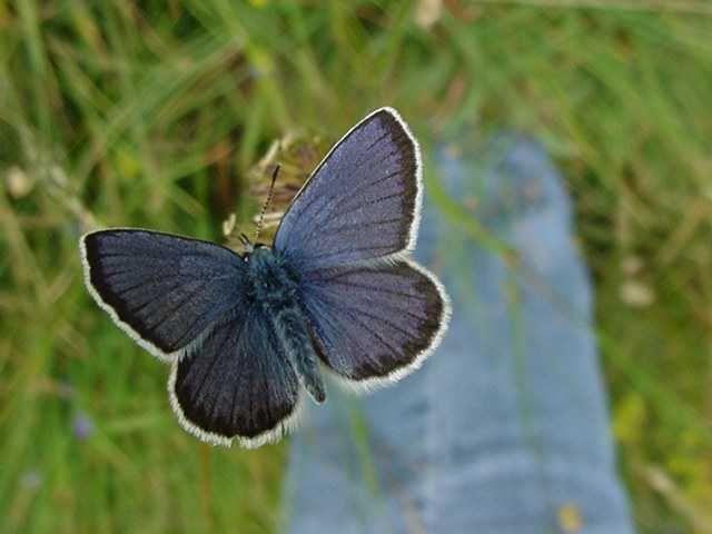 Photo papillon - azure du sepolet polyommatus arion