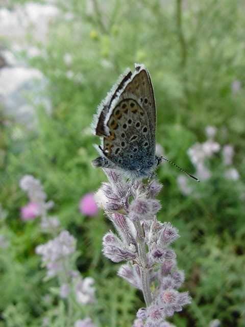 Photo papillon - azure du serpolet