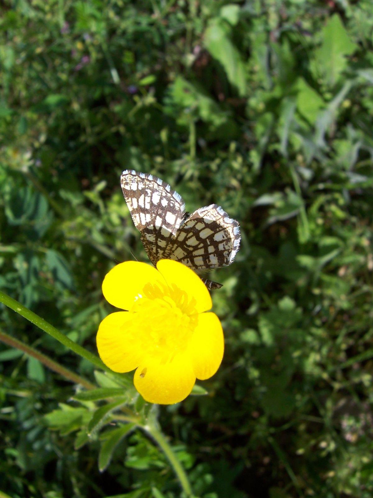 Photo papillon - chiasma clathrata geometridae sur fleur de reno