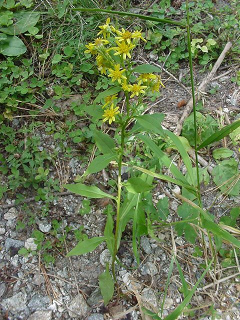 Photo plante - solidago virgaurea verge d or