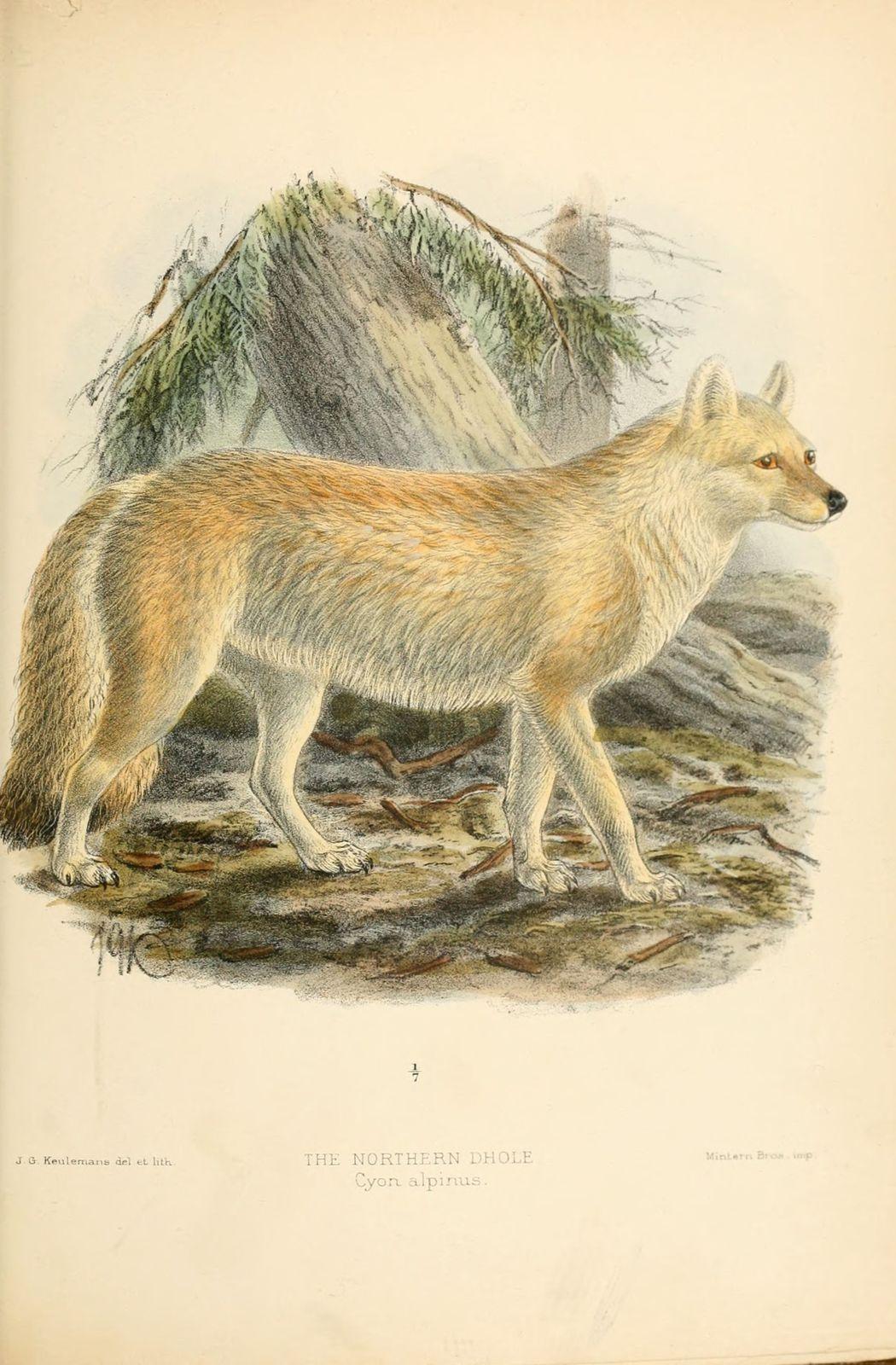 dessin-gravure dhole - cyon (cuon) alpinus