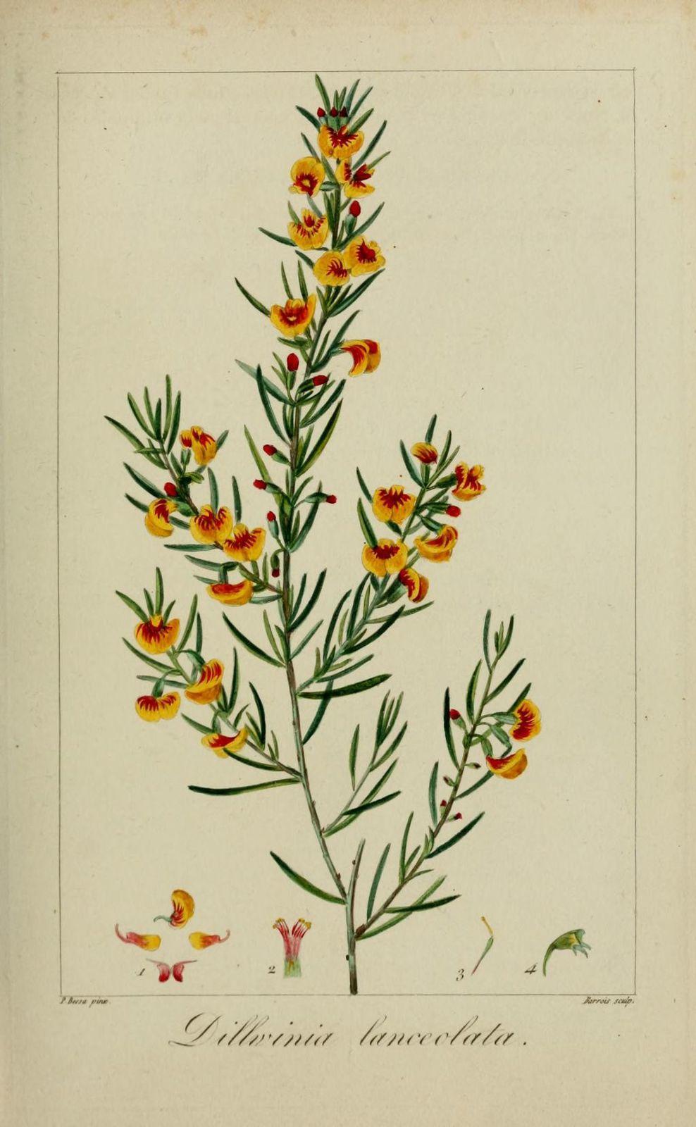 60115 dillwynia lanceole - dillwynia lanceolata