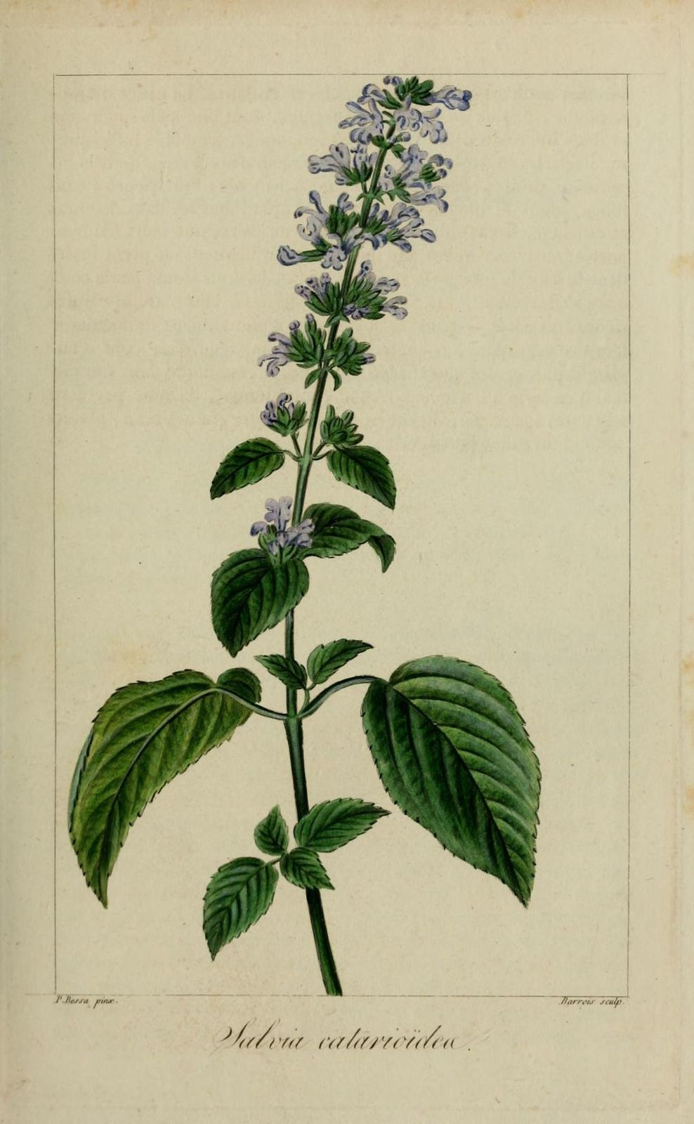 60119 sauge chataire - salvia catarioides