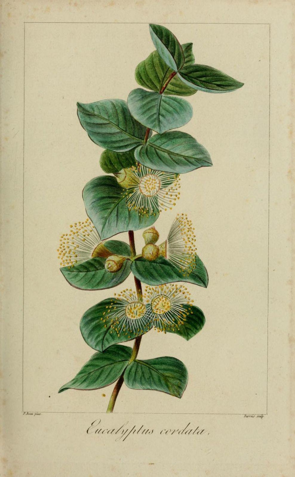 60163 eucalyptus a feuilles en coeur - eucalyptus cordata