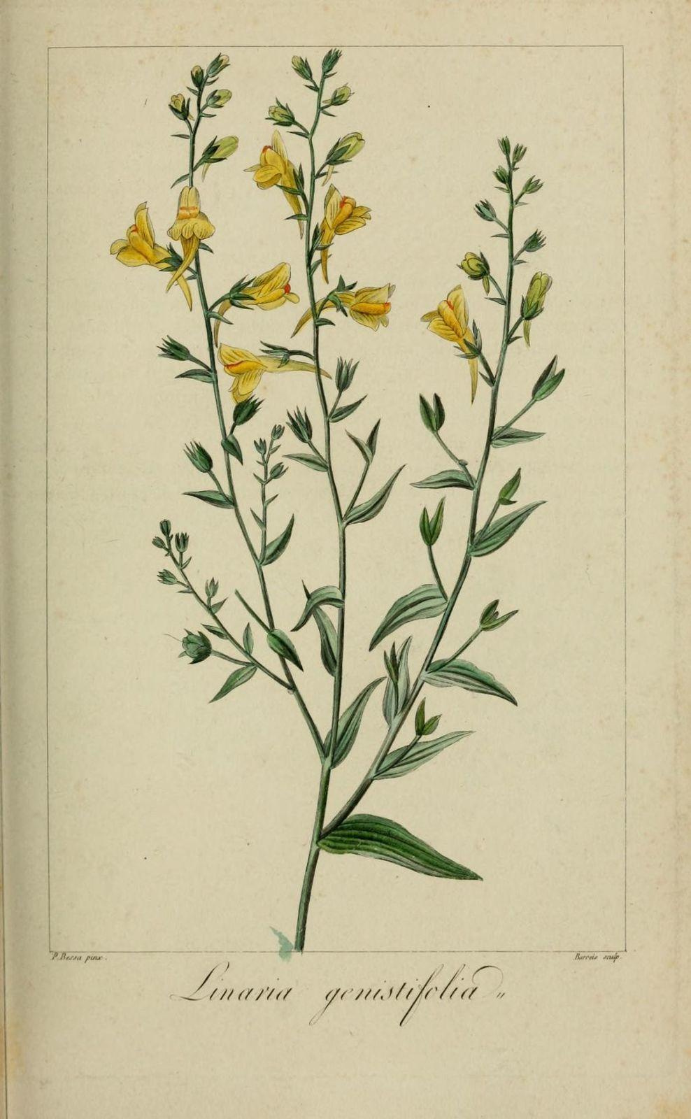 60249 linaire a feuilles de genet - linaria genistifolia