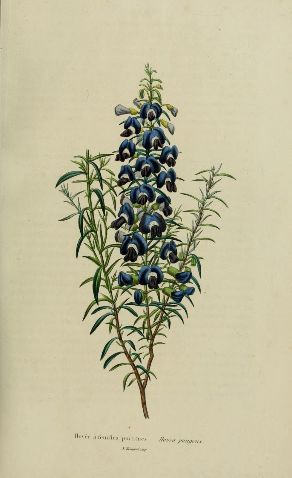 10061 hovee a feuilles pointues - hovea pungens