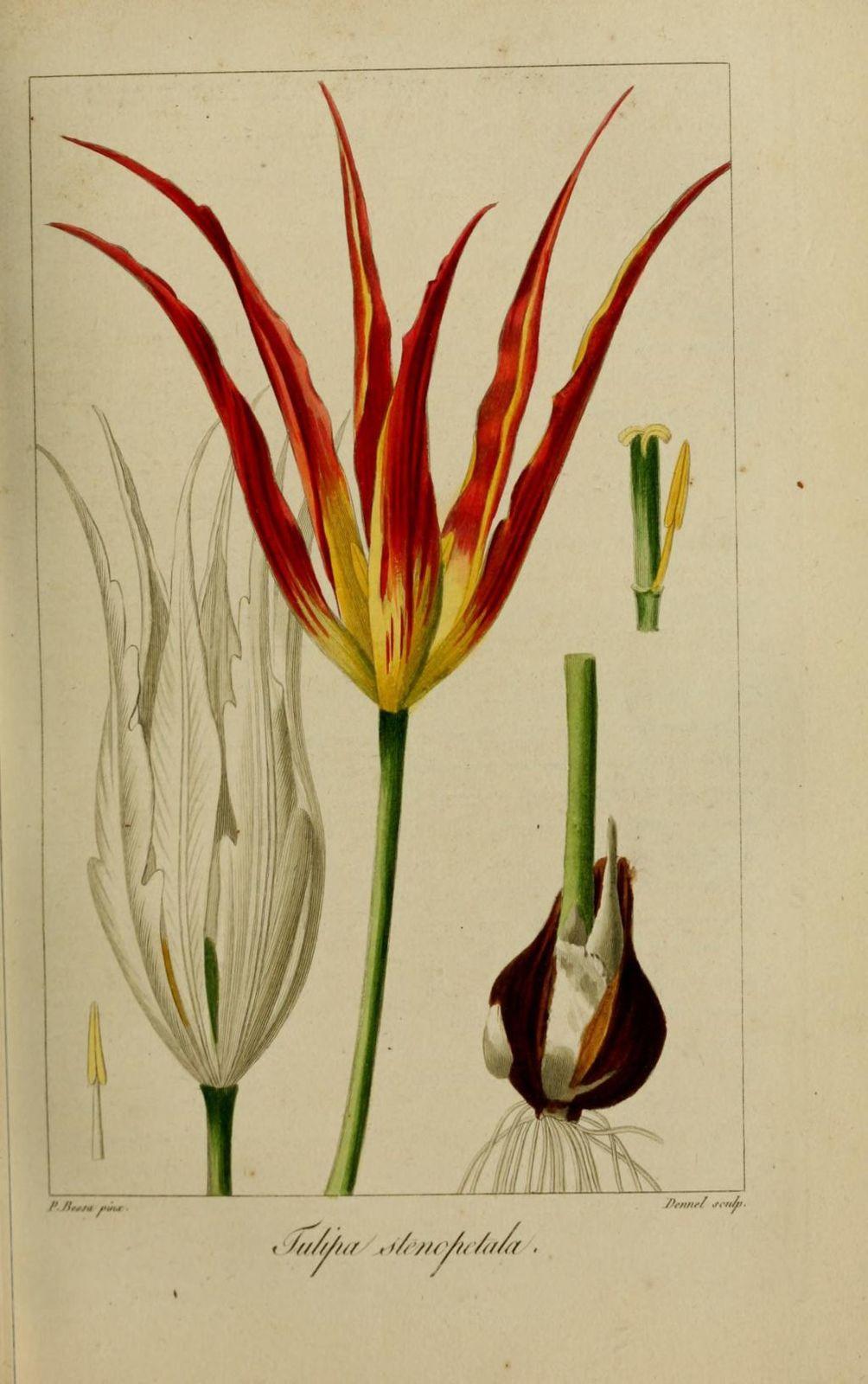 20127 tulipe a petales etroits - tulipa stenopetala